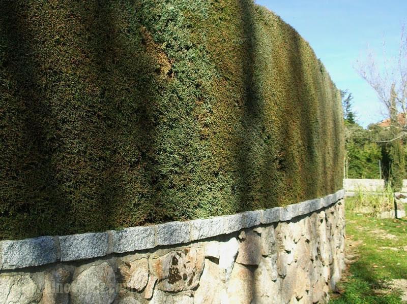 Mantenimiento de arizonicas jardineros - Setos de jardin ...